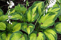 PHOTO: Hosta 'Cadillac'