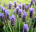 PHOTO: Lavender.
