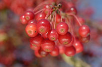 PHOTO: Crabapple fruit