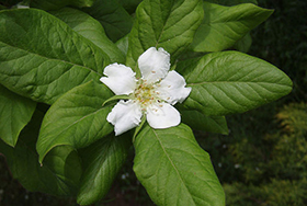 PHOTO: Medlar bloom