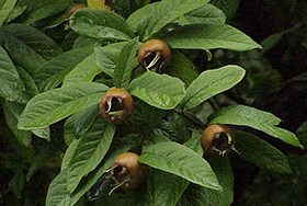 PHOTO: Medlar fruit
