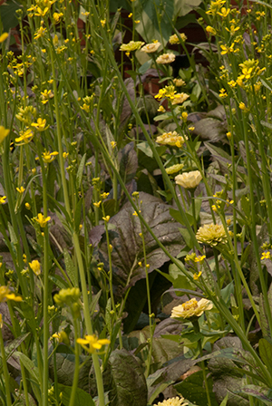 PHOTO: mustard and zinna planted together