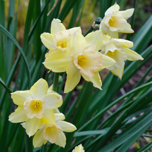 PHOTO: Blushing Lady jonquil (Narcissus).