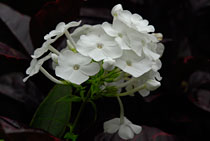 PHOTO: Phlox paniculata 'David'