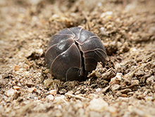 PHOTO: A pillbug, or woodlouse.