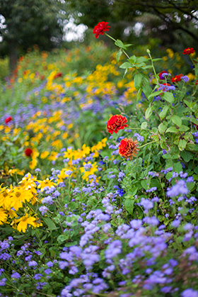 PHOTO: zinnias in the English Oak Meadow