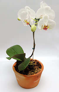 PHOTO: potted orchid.