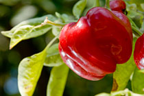 PHOTO: Red bell pepper