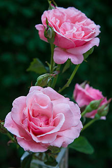 PHOTO: Rosa 'Queen Elizabeth'.