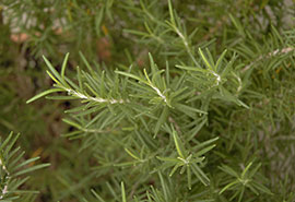 PHOTO: Rosemary officinalis