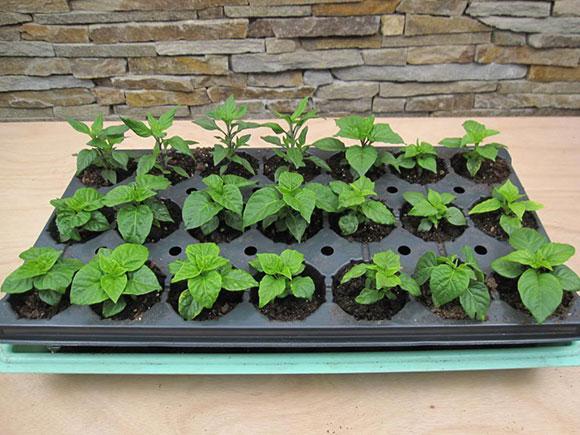 Sowing Seeds Indoors Chicago Botanic Garden