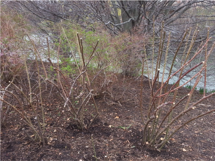 PHOTO: Shrub rose pruned.