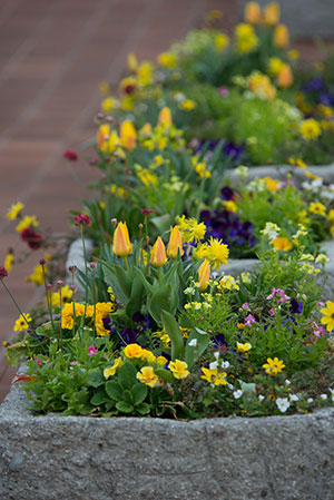 PHOTO: Heritage Garden troughs planted for spring.