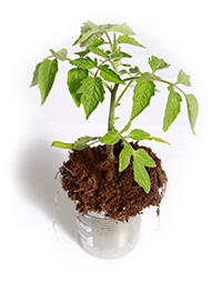 PHOTO: Tomato seedling in a metal pail.