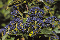 PHOTO: Synnestvedt arrowwood viburnum - Chicago Lustre