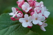 PHOTO: Viburnum carlesii 'J. N. Select'
