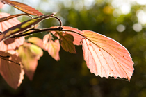 PHOTO: Morton arrowwood viburnum – Northern Burgundy