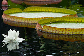 PHOTO: Victoria waterlily.