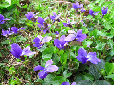 PHOTO: violets taking over your lawn