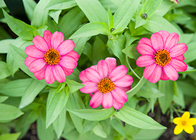 PHOTO: Zinnia 'Coral Rose'