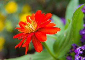 PHOTO: Zinnia 'Double File'