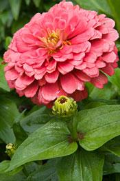 Zinnias The Hardest Working Flower In The Summer Garden