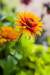 Zinnias the hardest working flower in the summer garden chicago zinnias work as cut flowers mightylinksfo