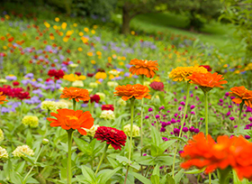 Incroyable PHOTO: Zinnias In The English Oak Meadow