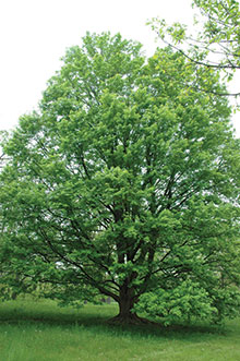 PHOTO: State Street™ miyabe maple (Acer miyabe 'Morton')