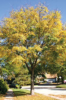 PHOTO: Accolade™ Elm (Ulmus 'Morton')
