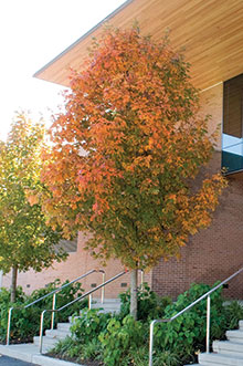 PHOTO: Fall Fiesta™ sugar maple (Acer saccharum 'Ballsta')