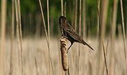 PHOTO: Bird on cattail.