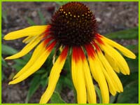 PHOTO: coneflower