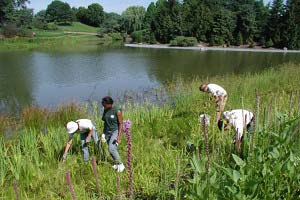 PHOTO: removing invasive plants