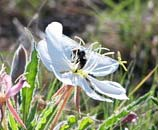 PHOTO: Evening primrose being pollinated