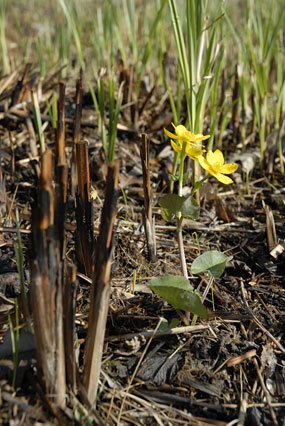 PHOTO: new growth on the prairie after a burn