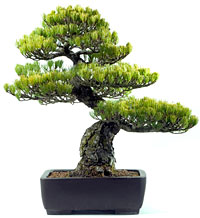 PHOTO: bonsai