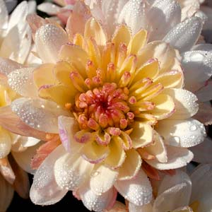 PHOTO: chrysanthemum