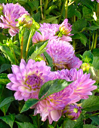 PHOTO: Dahlias