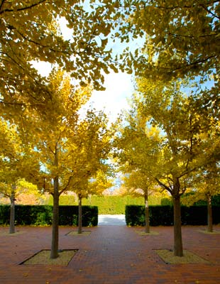 PHOTO: Gingko courtyard at the administration building
