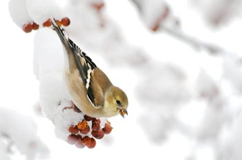 PHOTO:goldfinch