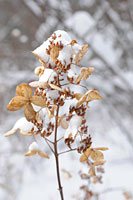 PHOTO: snow-covered hydrangea