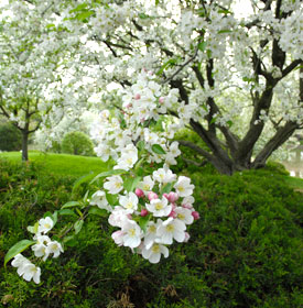 PHOTO: Malus 'Donald Wyman' in spring