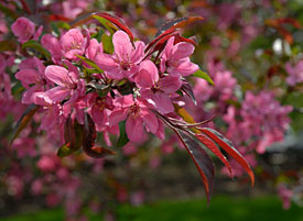 PHOTO: Malus 'Prairifire' in spring