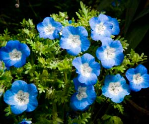 PHOTO: Nemophila