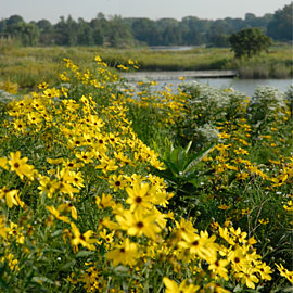 PHOTO: black-eyed Susans on the prairie