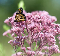 PHOTO: Monarch butterfly on Queen of the Prairie