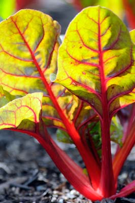 PHOTO: Swiss Chard