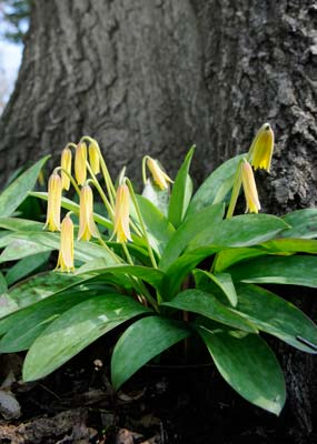 PHOTO: Trout Lily