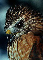 PHOTO: red-shouldered hawk